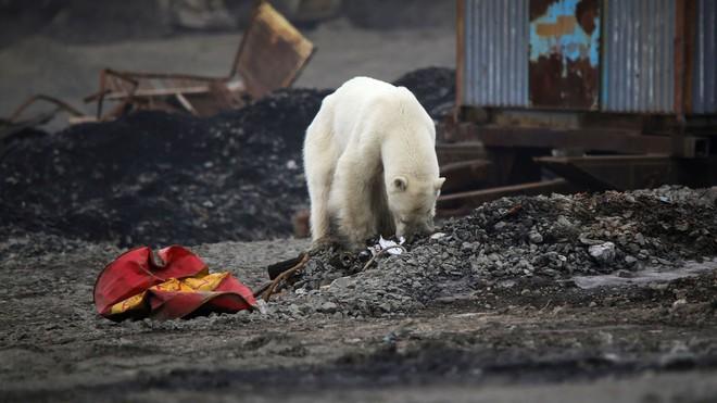 Hình ảnh chú gấu Bắc Cực đi lạc 1.500 km kiếm thức ăn báo động thực trạng khắc nghiệt của biến đổi khí hậu - ảnh 5