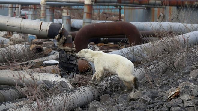 Hình ảnh chú gấu Bắc Cực đi lạc 1.500 km kiếm thức ăn báo động thực trạng khắc nghiệt của biến đổi khí hậu - ảnh 4
