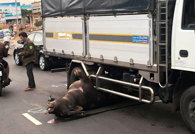 Lâm Đồng: Trâu đực nặng hơn 400kg bị xe tải tông tử vong trên Quốc lộ 20 - Ảnh 1.