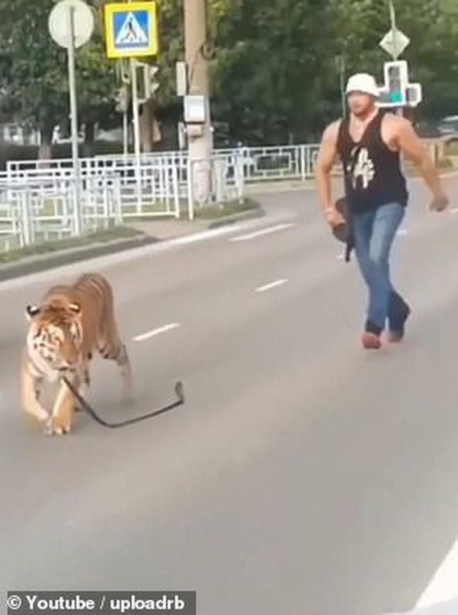 Nước Nga hài hước: Chỉ ở đây mới có cảnh hổ làm thú cưng, chạy nhảy tự do ở ngoài đường như thế này - ảnh 4