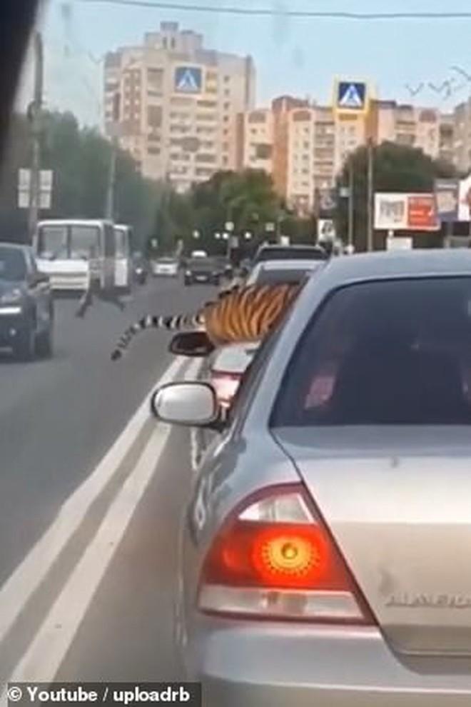 Nước Nga hài hước: Chỉ ở đây mới có cảnh hổ làm thú cưng, chạy nhảy tự do ở ngoài đường như thế này - ảnh 2