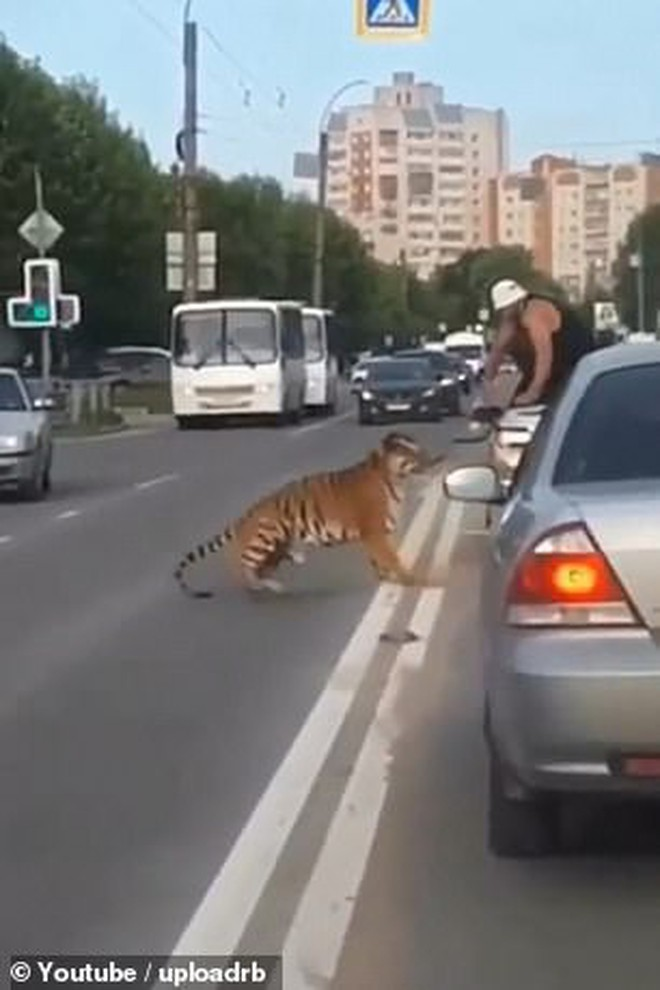 Nước Nga hài hước: Chỉ ở đây mới có cảnh hổ làm thú cưng, chạy nhảy tự do ở ngoài đường như thế này - ảnh 3