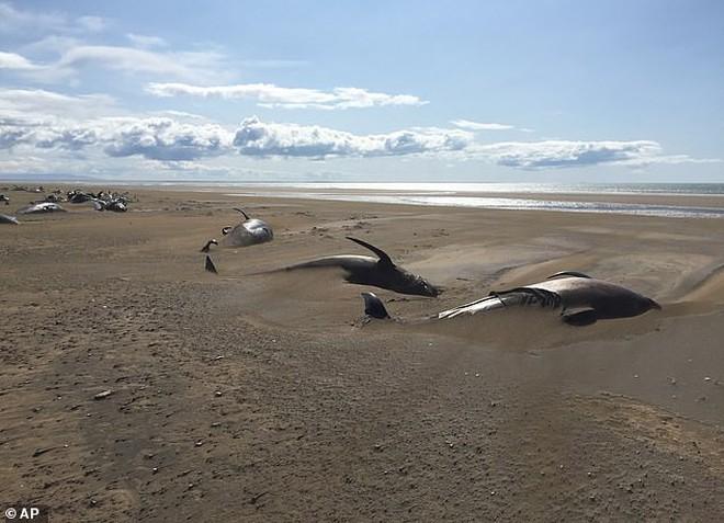 50 xác cá voi chết dạt vào bờ biển một cách bí ẩn khiến các nhà khoa học đau đầu tìm nguyên nhân - ảnh 4