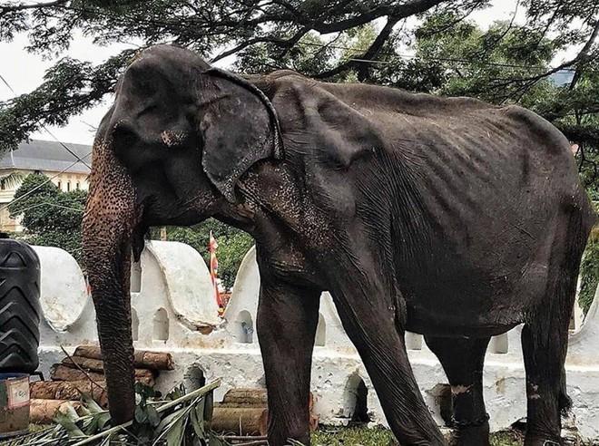 Sự thật đau thương phía sau những con voi lộng lẫy tại lễ hội lớn nhất Sri Lanka: Cơ thể 70 tuổi gầy yếu, da bọc xương đến xót xa - ảnh 2