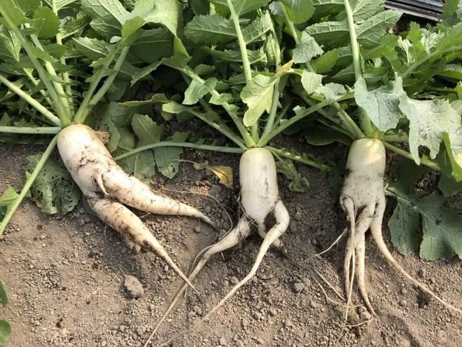 Trước nguy cơ bị vứt bỏ, loạt củ cải trắng xấu xí đã được nông dân Nhật Bản giải cứu nhờ bao bì cực thú vị - ảnh 1