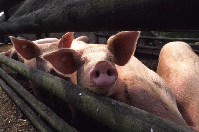 Đột phá: Tim lợn có thể ghép cho tim người trong 3 năm nữa? - ảnh 1