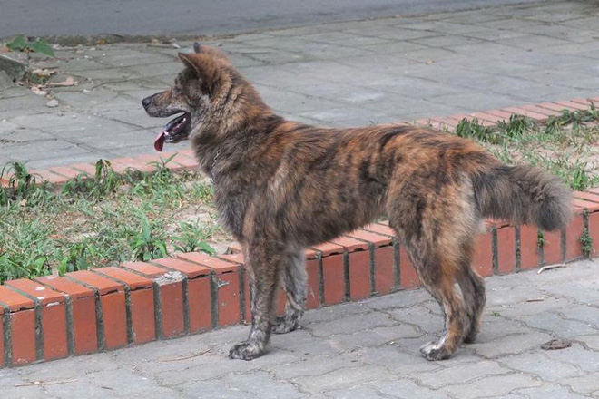 Việc gì phải chọn chó Nhật Shiba khi Việt Nam cũng có tứ đại danh khuyển dư sức đóng Cậu Vàng? - ảnh 4