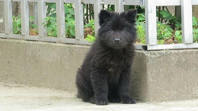 Việc gì phải chọn chó Nhật Shiba khi Việt Nam cũng có tứ đại danh khuyển dư sức đóng Cậu Vàng? - ảnh 5