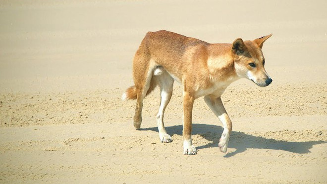 Việc gì phải chọn chó Nhật Shiba khi Việt Nam cũng có tứ đại danh khuyển dư sức đóng Cậu Vàng? - ảnh 9