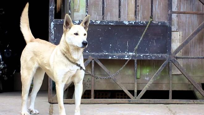 Việc gì phải chọn chó Nhật Shiba khi Việt Nam cũng có tứ đại danh khuyển dư sức đóng Cậu Vàng? - ảnh 10