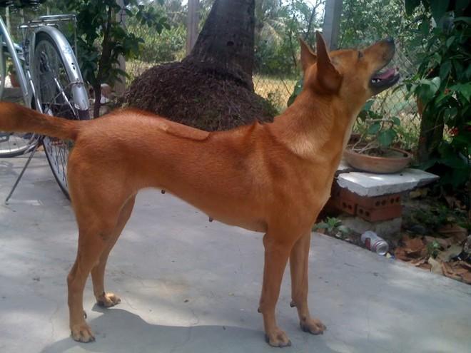 Việc gì phải chọn chó Nhật Shiba khi Việt Nam cũng có tứ đại danh khuyển dư sức đóng Cậu Vàng? - ảnh 8