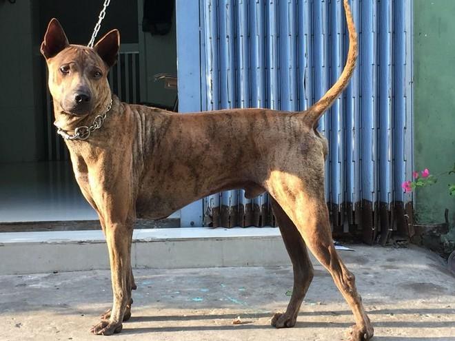 Việc gì phải chọn chó Nhật Shiba khi Việt Nam cũng có tứ đại danh khuyển dư sức đóng Cậu Vàng? - ảnh 7