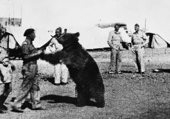 Cuộc đời kì lạ của binh nhì gấu Wojtek: Sống và chiến đấu như người lính thực thụ rồi trở thành anh hùng đáng tự hào của người Ba Lan - ảnh 2