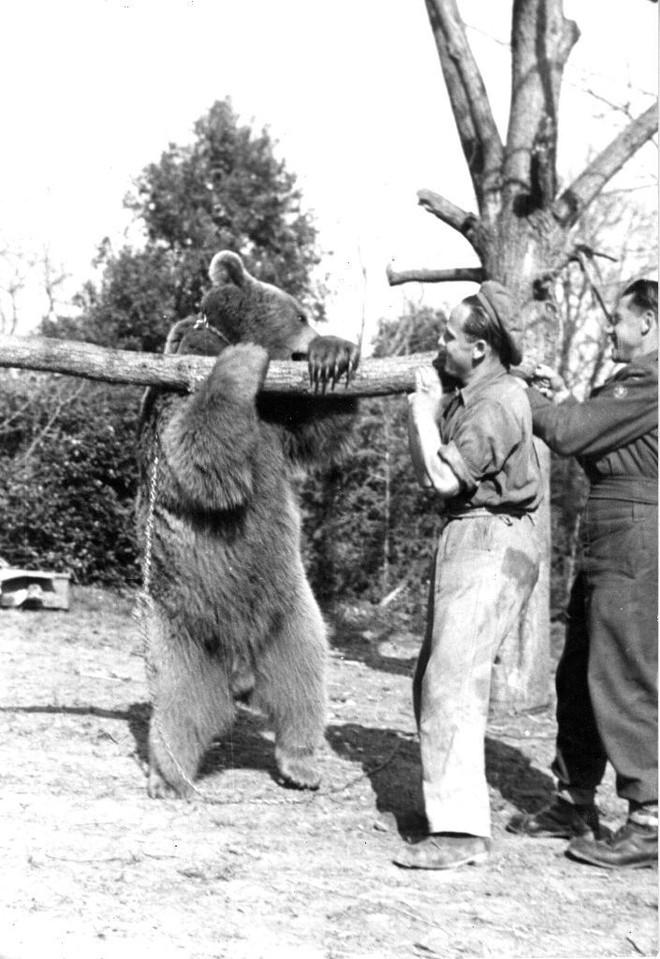 Cuộc đời kì lạ của binh nhì gấu Wojtek: Sống và chiến đấu như người lính thực thụ rồi trở thành anh hùng đáng tự hào của người Ba Lan - ảnh 5