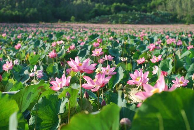 Không chỉ xuất hiện trong video của nhà mốt Louis Vuitton, hoa sen còn được xem như một trong những hình ảnh đại diện cho du lịch Việt Nam  - Ảnh 8.