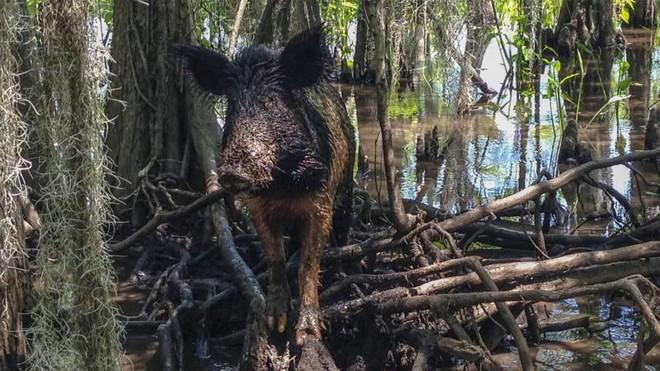 Mỹ đối mặt với khủng hoảng biên giới mới vì... lợn rừng vượt biên - ảnh 1