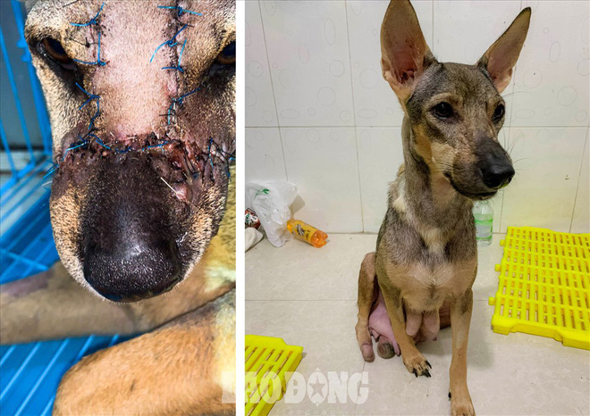 Thoát khỏi lò mổ, chú chó dũng cảm cứu sống đàn con trong bụng - ảnh 3