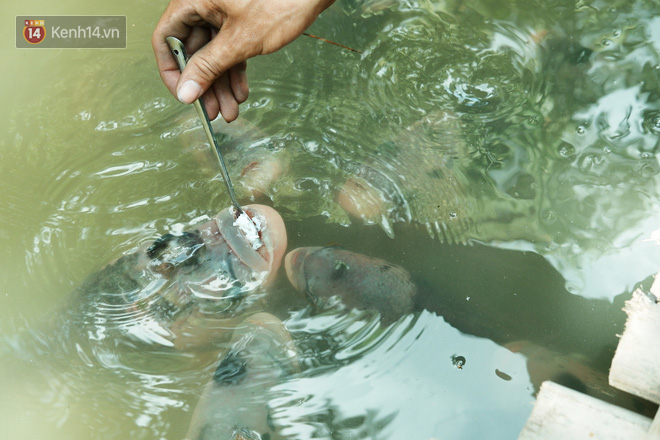 Kỳ lạ đàn cá tai tượng biết... nhõng nhẽo, ăn cơm trắng phải đút bằng muỗng của chàng trai 9X ở miền Tây - ảnh 2