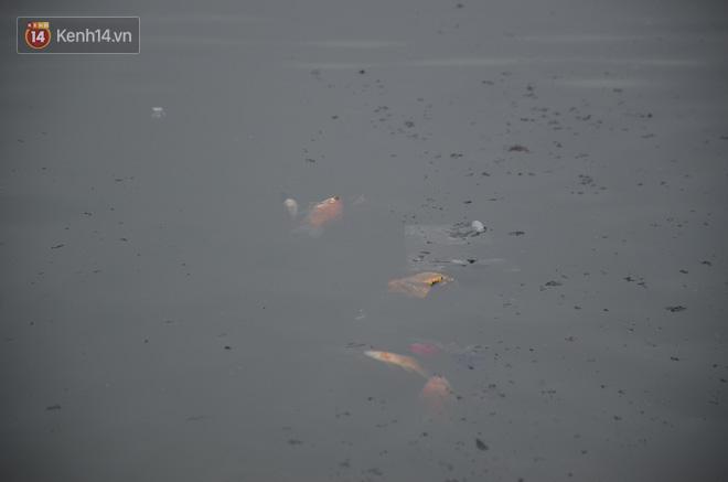 Hà Nội: Cá chép vàng chết nổi khi vừa được thả xuống hồ Hoàng Cầu ngày ông Công ông Táo - ảnh 12