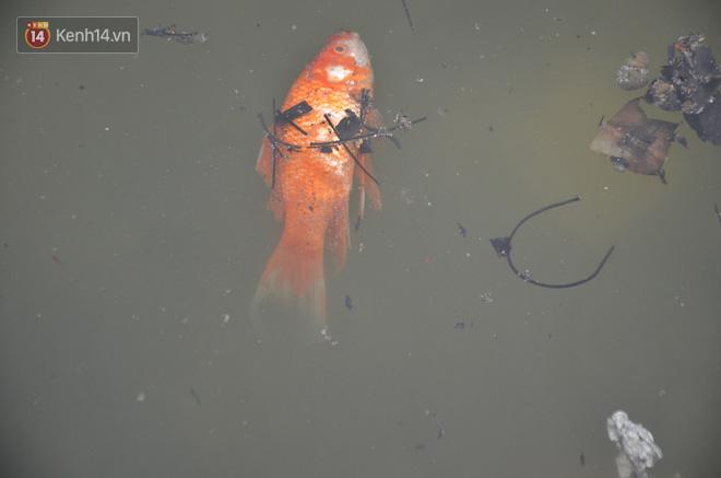 Hà Nội: Cá chép vàng chết nổi khi vừa được thả xuống hồ Hoàng Cầu ngày ông Công ông Táo - ảnh 11