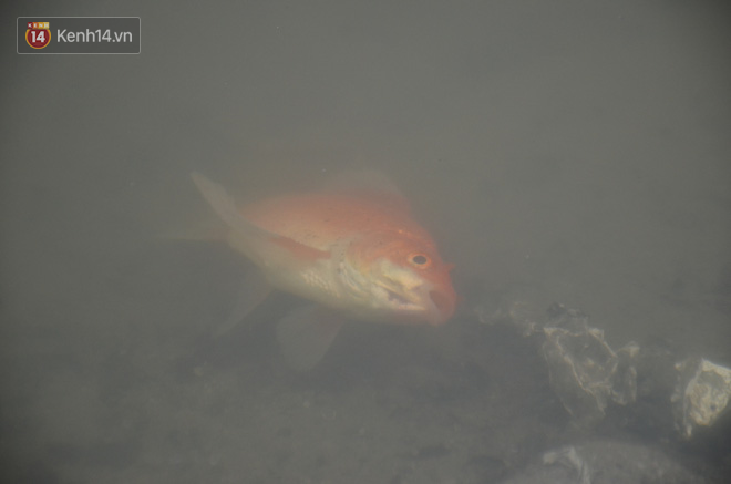 Hà Nội: Cá chép vàng chết nổi khi vừa được thả xuống hồ Hoàng Cầu ngày ông Công ông Táo - ảnh 10
