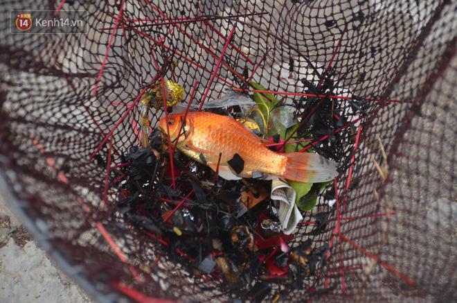 Hà Nội: Cá chép vàng chết nổi khi vừa được thả xuống hồ Hoàng Cầu ngày ông Công ông Táo - ảnh 16