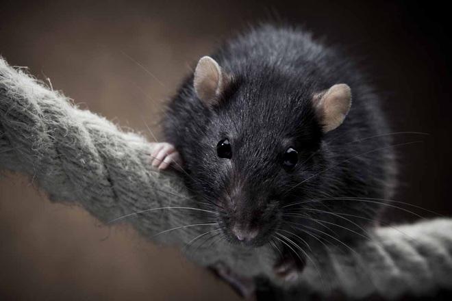 Khi luật sư đem tài biện hộ ra bảo vệ… chuột: Vô cùng năng nổ, sắc bén, hợp tình hợp lý đến nỗi đáng được ngả mũ bái phục - ảnh 4