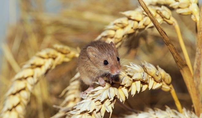 Khi luật sư đem tài biện hộ ra bảo vệ… chuột: Vô cùng năng nổ, sắc bén, hợp tình hợp lý đến nỗi đáng được ngả mũ bái phục - ảnh 8