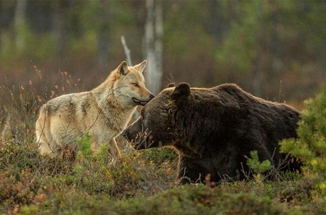 Chuyện tình vụng trộm của nàng sói xám và chàng gấu nâu: Quấn quýt từ 8 giờ tối tới 4 giờ sáng mỗi ngày rồi ai về nhà nấy - Ảnh 5.