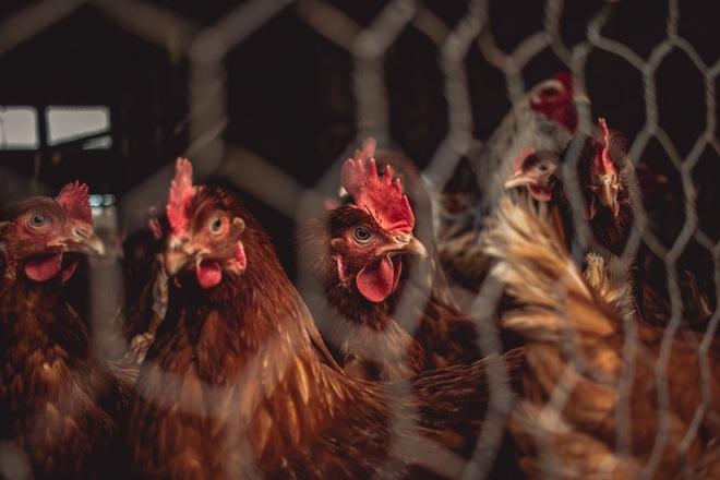 Con gà có trước hay quả trứng có trước? - giới khoa học đã tìm ra manh mối 9500 tuổi để trả lời câu hỏi này - Ảnh 3.