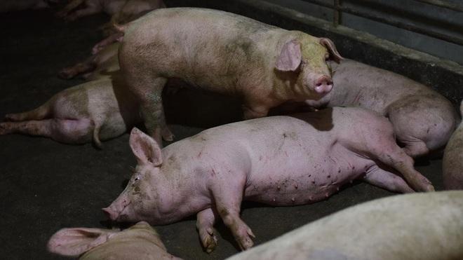Những sự thật đáng sợ về dịch cúm lợn chủng mới tại Trung Quốc: Virus mang sự kết hợp hủy diệt, chưa có bất kỳ miễn dịch nào tồn tại - Ảnh 1.