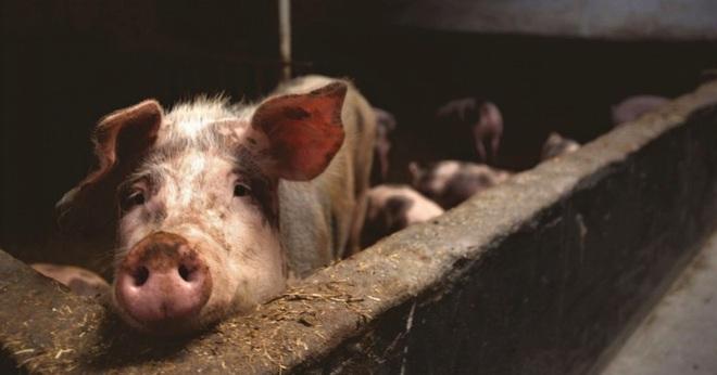Những sự thật đáng sợ về dịch cúm lợn chủng mới tại Trung Quốc: Virus mang sự kết hợp hủy diệt, chưa có bất kỳ miễn dịch nào tồn tại - Ảnh 4.