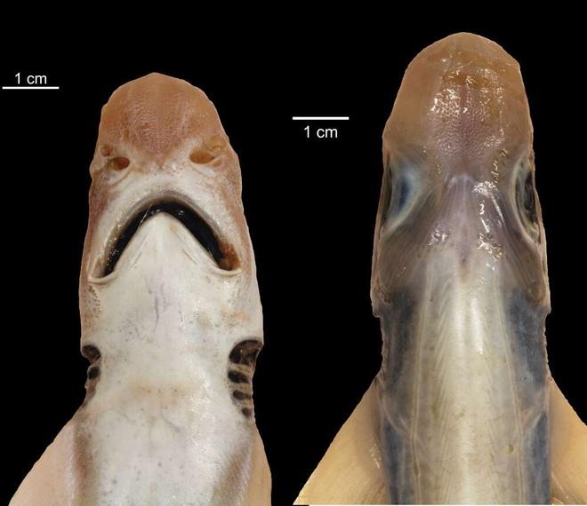 Lần đầu tiên khoa học tìm ra con cá mập đáng thương nhất lịch sử: Việc nó tồn tại được đến giờ phút này hoàn toàn là nhờ may mắn - Ảnh 2.