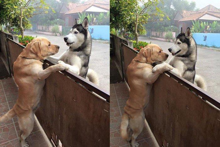 Sau nhiều ngày cô đơn, chú chó husky lao sang nhà hàng xóm, trèo lên hàng rào để ôm chặt anh bạn thân - Ảnh 3.