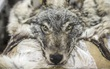 Theo chân những người thợ săn ở Siberia đi lột da chó sói