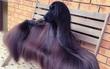 Hoa hậu chó sở hữu bộ lông suôn dài, bóng mượt khiến phái đẹp cũng phải ghen tị