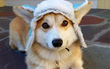 """Đội mũ len quá dễ thương, chú chó Corgi đã bị các thánh chế ảnh cho """"lên thớt"""""""