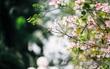 Lại một mùa hoa ban tím chở một góc Tây Bắc về giữa lòng Hà Nội