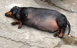"""Chú """"chó lợn"""" béo không thấy chân, nhìn cứ nghĩ có bầu nhưng hoá ra là đực"""
