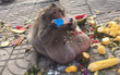 Chú khỉ béo ú ăn thủng nồi trôi rế hết hoa quả của đồng bọn trong sở thú