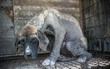 Hàn Quốc: Giải cứu thành công 149 chú chó sắp bị giết thịt mang ra chợ bán