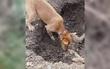 Chú chó hoang tình nghĩa tự đào hố chôn bạn thân qua đời vì tai nạn