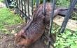 Béo quá lú mề, hải ly bị mắc kẹt ở hàng rào không thoát ra nổi