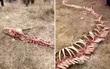 Tìm thấy bộ xương của sinh vật lạ giống loài rồng trong truyền thuyết