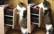 """Chú mèo khôn """"thành tinh"""" biết tự mở ngăn kéo lấy đồ chơi"""