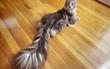 Chiêm ngưỡng dung nhan chú mèo có đuôi dài nhất thế giới
