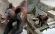 Trung Quốc: Chú gấu nâu gầy trơ xương vì bị sở thú bỏ đói, bạo hành
