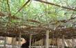 Cây hoa hồng lớn nhất thế giới, to như cây cổ thụ phủ kín gần 1000m2 đất