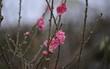 """""""Đột nhập"""" vườn đào Nhật Tân, ngắm hoa đào nở sớm, đẹp lung linh dưới nắng đông dù Tết còn 2 tháng"""