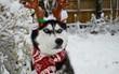 Gặp gỡ chú chó có khuôn mặt cau có nhất mùa Giáng Sinh